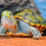 Como es tener una tortuga de mascota